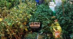 GNR Caldas da Rainha - Apreensão de plantas de cannabis