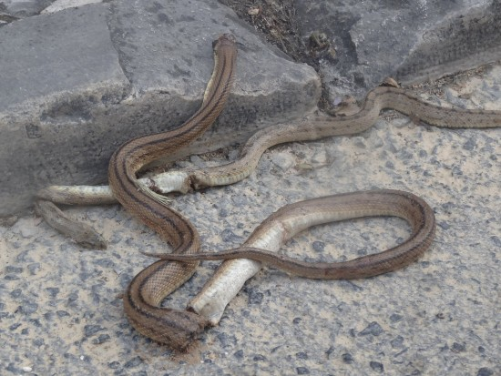 cobras 1